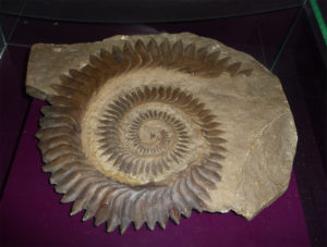 Helicoprion dental spiral. (Photo © Citron / CC-BY-SA-3.0. From Wikimedia Commons.)
