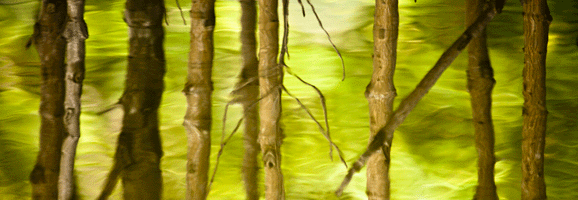 An Image showing water reflecting off the trunks of a mangrove forest in Thailand, one of the most vulnerable coastal forests in the world.