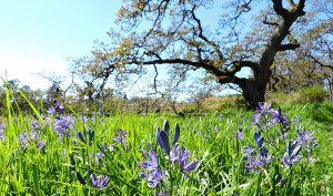 Garry Oak Learning Meadow
