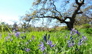 Garry Oak Learning Meadow
